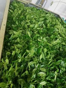20170521茶工場